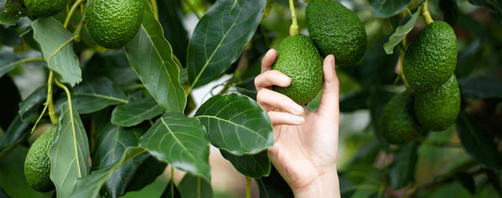 living color garden center grow avocado tree guacamole picking avocado