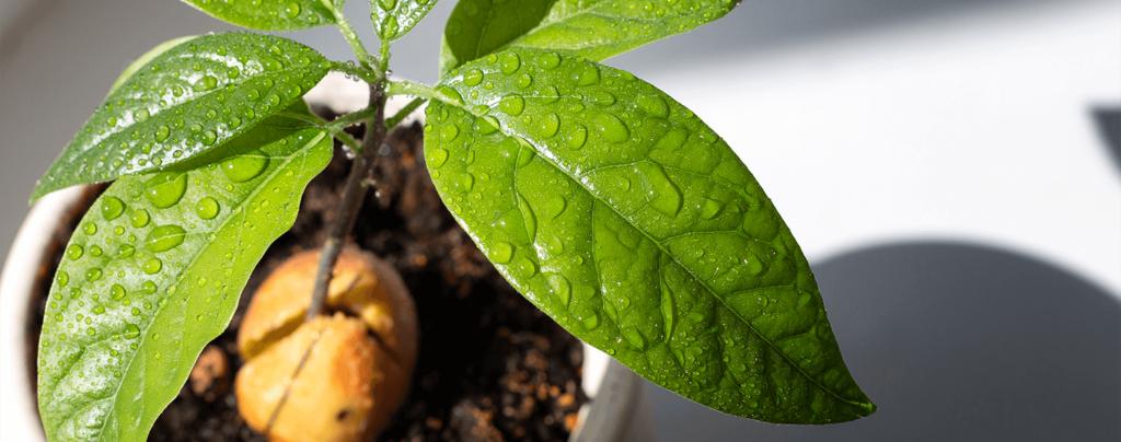 living color garden center grow avocado tree guacamole seedling