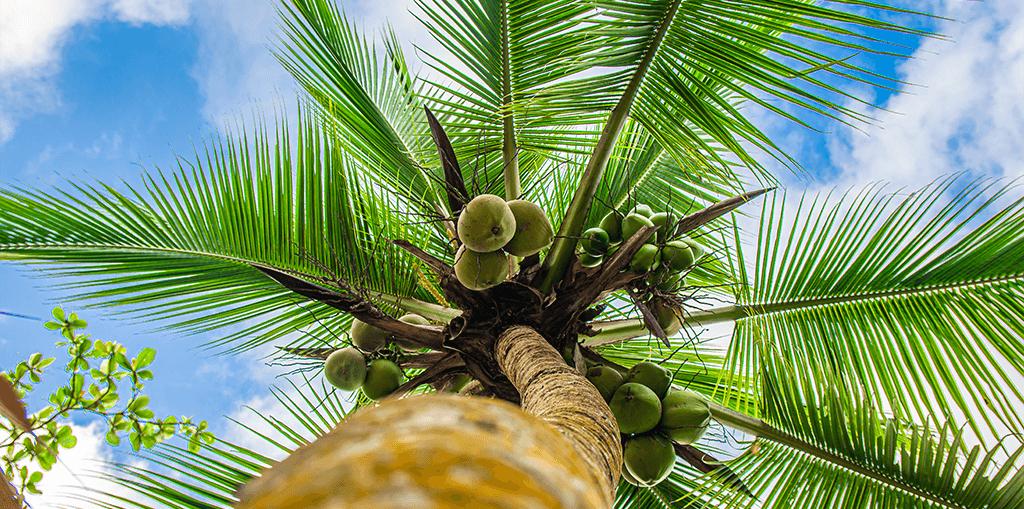 living color garden center how to grow coconut palm fruit trunk blue sky