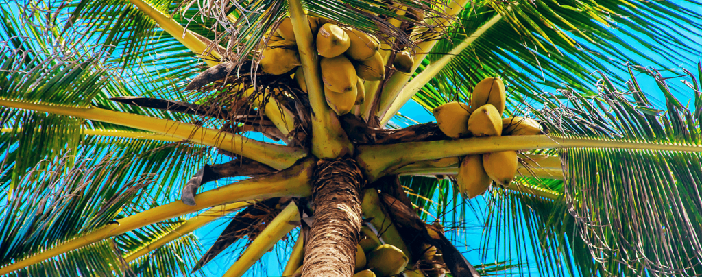living color garden center how to grow coconut palm on blue sky