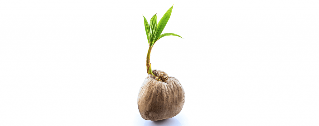 living color garden center how to grow coconut palm sprout from coconut fruit
