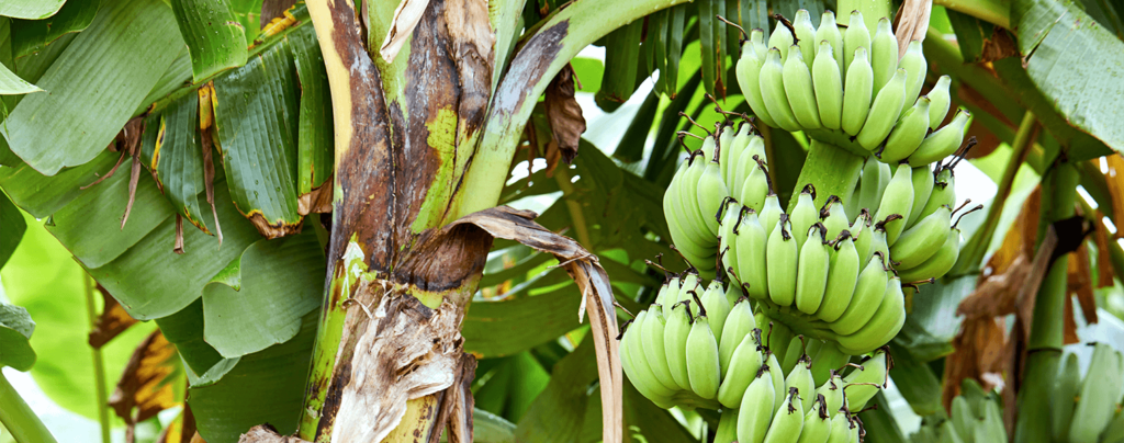 living color garden center intro to edible landscaping banana tree with fruit