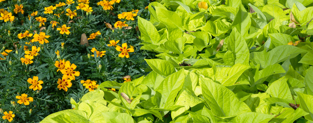 living color garden center intro to edible landscaping sweet potato vine with flowers