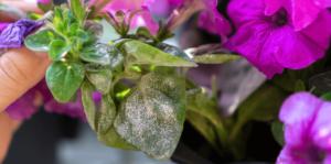 living color garden center african violet leaves