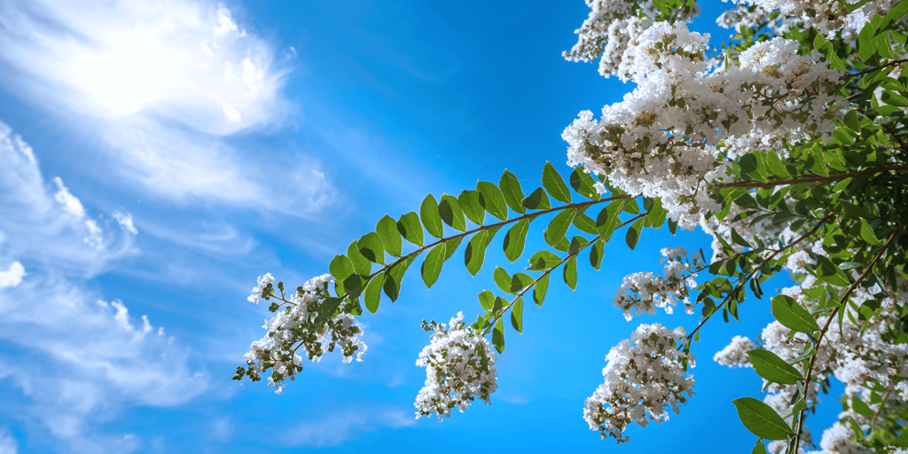 living color garden center crape myrtles summer blooming acoma weeping white flowers sky