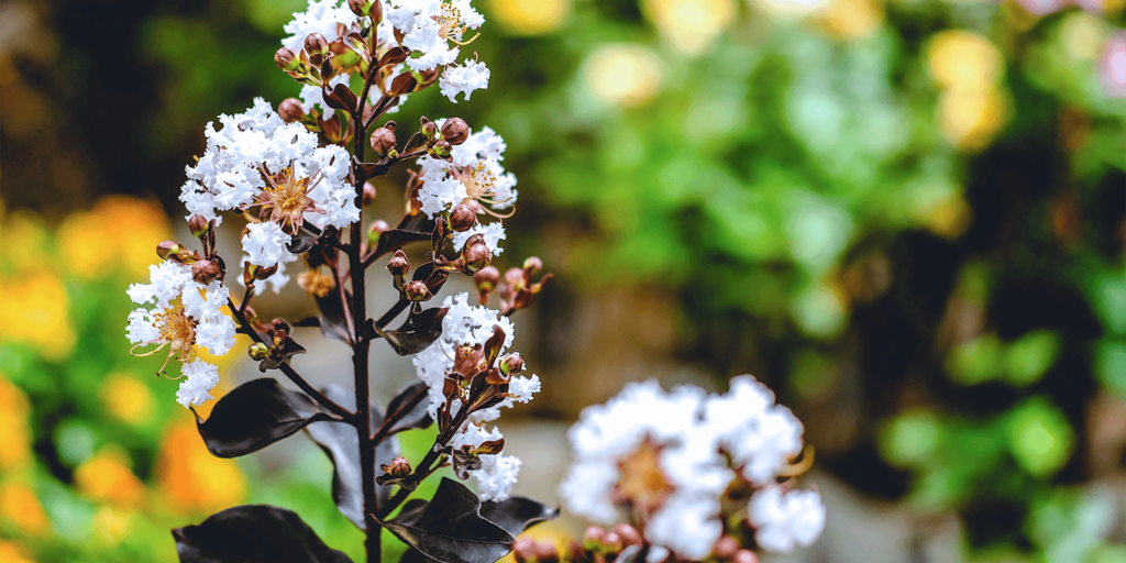 living color garden center crape myrtles summer white blooms dark foliage