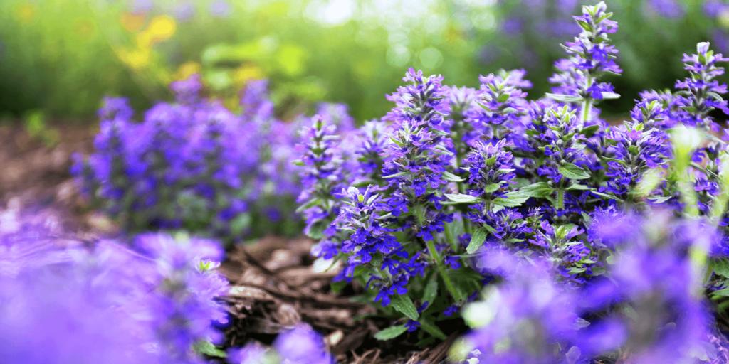 living color garden center goodbye lawn new landscape ajuga bugleweed groundcover