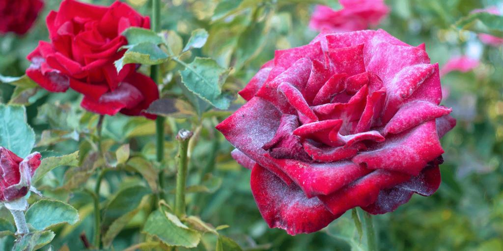 living color garden center powdery mildew prevention roses