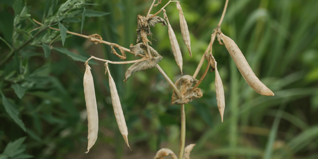 drying seed pods